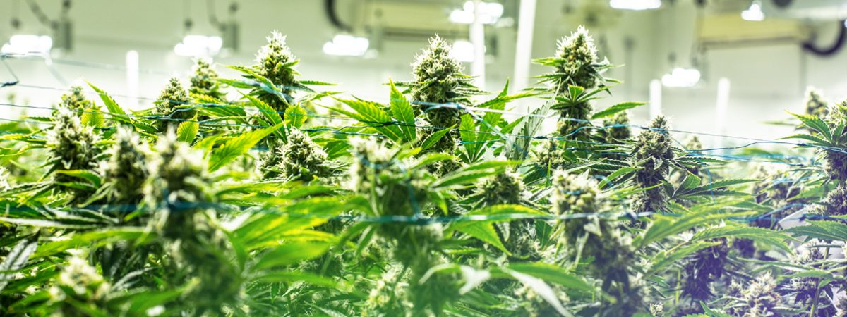 Cannassure Therapeutics Ltd., a subsidiary company of the Solbar Group, can start growing medical cannabis, indoors